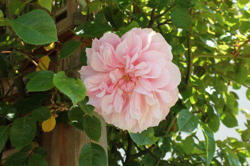 rožė,gėlė,žiedlapis,rožinis,gėlių,gamta,žiedas,augalas,spalva,žydėti,vasara,sodas,spalva,botanika