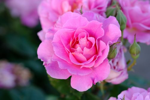rožė,rožinis,rožinė rožė,išaugo žydėti,gėlės,žiedas,žydėti,gamta,rožinės rožės,rožių žydėjimas,floribunda,kvepalai,Uždaryti,žiedlapiai,gražus,augalas,užpildyta rožė,romantiškas,vasara,kvapus rožė,grožis,žydėti,makro,saldus,sodas,dviguba gėlė,dekoratyvinis augalas,sodrus,budas,pilnai žydėti,rožinė gėlė,spalva,žalias,krūmas,užpildytas,pentecost,gėlių sodas