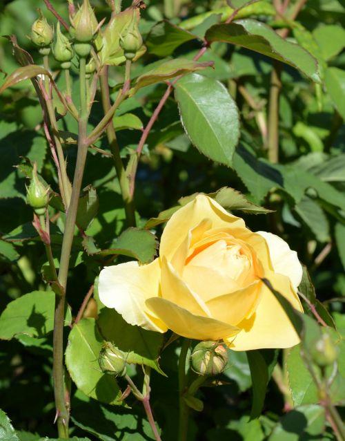 rožė,rožių šiltnamius,žiedas,žydėti,gėlė,žydėti,rosaceae,sodas,išaugo žydėti,augalas,sodo rožės,gamta,aromatingas,krūmas,Uždaryti,geltona,dygliuotas,saldus,romantiškas,budas,paskatinti,rožinis pumpuras,dekoratyvinis augalas
