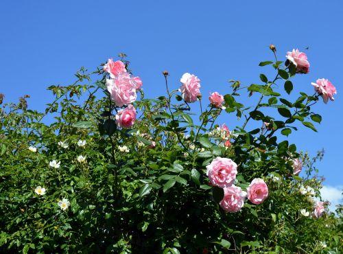 rožė,rožinis,rožinė rožė,išaugo žydėti,gėlės,žiedas,žydėti,rožinės rožės,gamta,floribunda,augalas,gražus,sodas,vasara,romantiškas,sodo rožė,žydėti,grožis,meilė,rožių žydėjimas,budas,erškėčių,rožių veisimas,kilnus