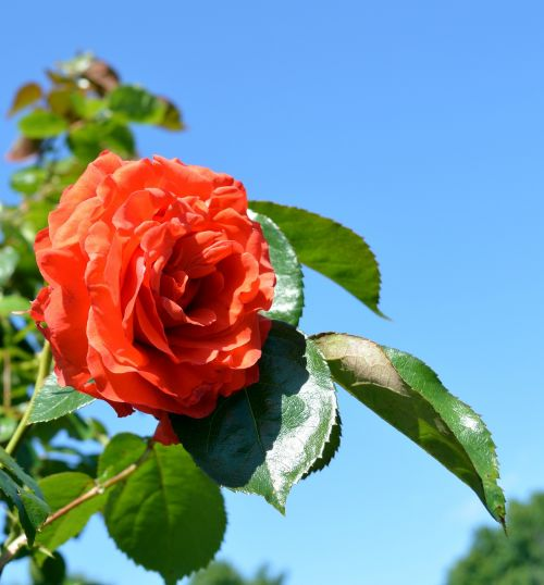 rožė,floribunda,žiedas,žydėti,išaugo žydėti,rožių žydėjimas,gėlė,žydėjo,romantiškas,romantika,kvepalai,augalas,gamta,žiedlapiai,gražus,grožis,Uždaryti,žydėti,raudona,šviesus