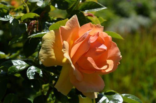 rožė,floribunda,žiedas,žydėti,išaugo žydėti,rožių žydėjimas,gėlė,budas,žydėjo,romantiškas,oranžinė,oranžinis žiedas,kvepalai,augalas,gamta,gražus,žiedlapiai,grožis,romantika,Uždaryti,žydėti,šviesus,saldus,sodas
