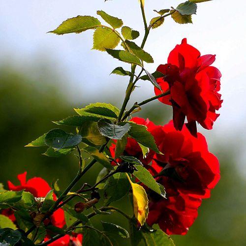rožė,krūmas,žiedas,žydėti,gamta,rožių šeimos,augalas,raudona,kriaušių rožė,žydėti,sodas,išaugo žydėti,Uždaryti,Nebaigtas,gėlė,flora,žalias,žiedlapiai