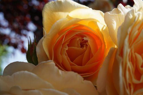 rožė,oranžinė,žiedas,žydėti,užpildyta anglų rožė,gamta,vasara,sodas