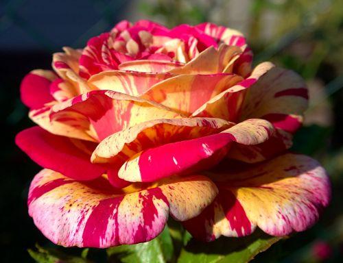rožė,makro,Uždaryti,žiedas,žydėti,gėlė,pavasaris,rožinis,gamta,augalas,bi spalva,žydėti,sodas,vasara,grožis,rožių šeimos,bicolor rose,spalva,išaugo žydėti
