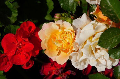 rožė,žiedas,žydėti,Uždaryti,rosaceae,raudona,oranžinė,balta,trys spalvos,aksomas,gėlių stiebas,augalas,makrofotografija,gamta,augalai ir gėlės,išaugo žydėti,rožių veisimas,grožis,veisimas,pavasaris,vasara,meilė,puokštė,gėlių vaučerius,Valentino diena,spalva,forma,pavasario spalvos,žalias,makro