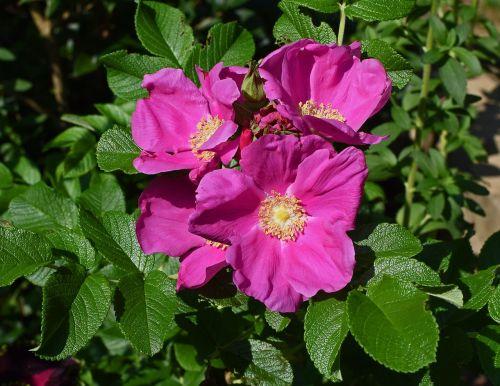 rožė,Rugosa augo su pumpurais,budas,gėlė,žiedas,žydėti,lapai,sodas,gamta,augalas,rožinis,ryški rausva spalva,spalvinga