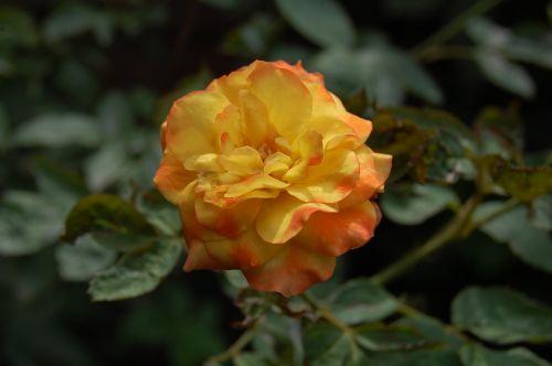 rožė,yra,geriausia