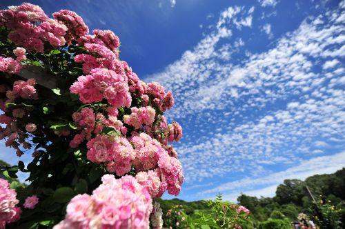 rožė,dangus,Saunus