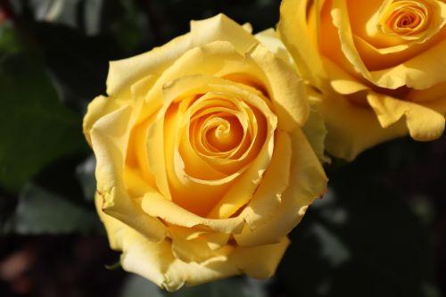 rožė,geltona,žiedas,žydėti,gėlė,išaugo žydėti,šviesus,geltonos rožės,geltonos gėlės,floribunda,geltona rožė,žydėti,augalas