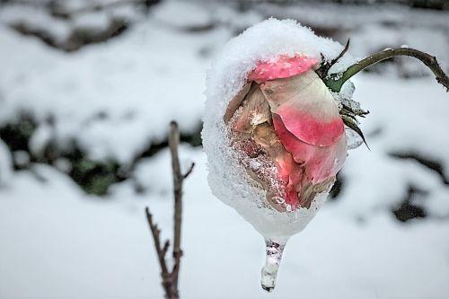 rožė,Anemone blanda,žiema pakilo,šaltas,sniegas,žiema,trumpalaikis,ledas,sniego kraštovaizdis,kristalas,eiskristalio,žiemą
