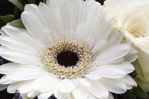 rožė,Gerbera,kompozitai,gėlės,pavasaris,gamta,augalas,balta,švelnus,puokštė,užpildyti,sodrus,dekoratyvinis,makro