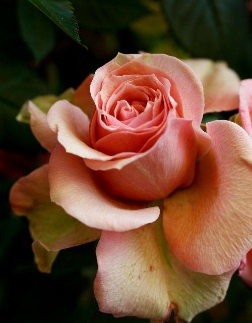 rožė,išaugo žydėti,gėlė,žiedas,žydėti,kvepalai,grožis,romantiškas