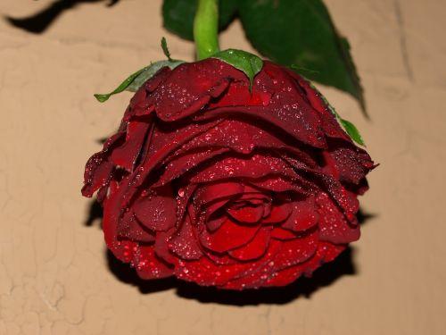 rožė, gėlė, lapai, raudona, žiedlapis, sepal, be honoraro mokesčio