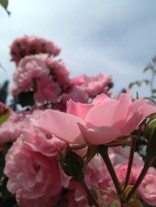 rožė,gėlės,gėlių,žiedas,žiedlapis,šviesus,žydėti,flora,botanika,botanikos,gyvas,budas,stiebas,šviežias,auga,gėlininkystė,aplinka,lapija,augimas,išsaugojimas,ekologiškas,sodrus,Žemdirbystė,sodinukai,žemė,derlingas,trapi,aromatingas,vaisingumas,nektaras,subtilus,elegantiškas,kvapas,žiedadulkės,išplistų,aromatas,švelnus,švelnus,kvepalai,Grynumas,sezoninis,trapumas,meilė,romantika