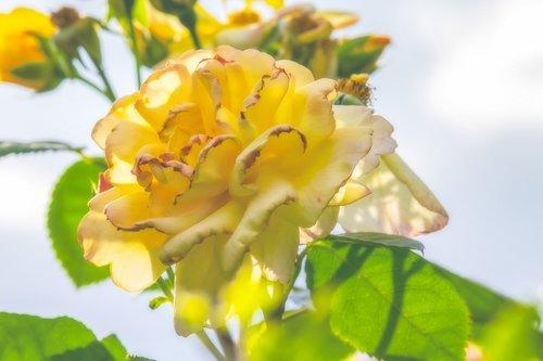 išaugo, ap, žiedas, žydi, subtilus, šviesus, geltona gėlė, subtilus gėlių, dvigubas žiedas, visiškai rozkwitnie, gėlė, romantiškas, floribunda, suklestėjo, pavasaris