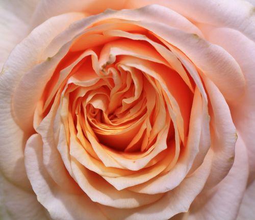 rožė,rožės,išaugo žydėti,žiedas,žydėti,gėlė,augalas,kvepalai,rožinis,flora,pavasaris,gamta,romantika,sodo rožė,grožis,žydėjo,Uždaryti,šviesus,žydėti,gėlės,sodas,botanika,gražus,struktūra,makro,makrofotografija