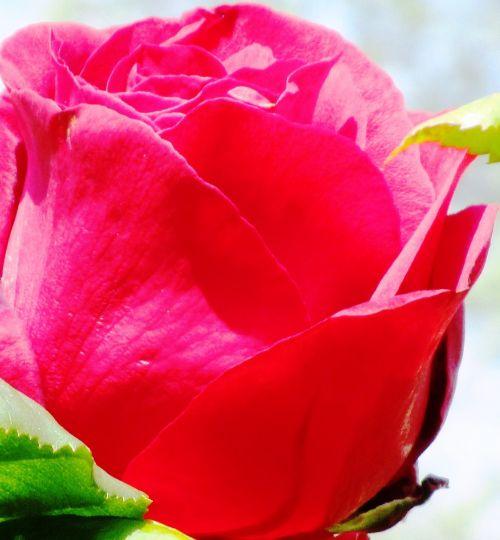 rožė,raudona,žiedas,žydėti,išaugo žydėti,kvepalai,grožis,meilė