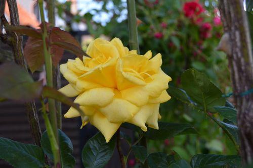 rožė,geltona,gėlė,sodas,žiedas,žydėti,gamta,vasara,žydėti