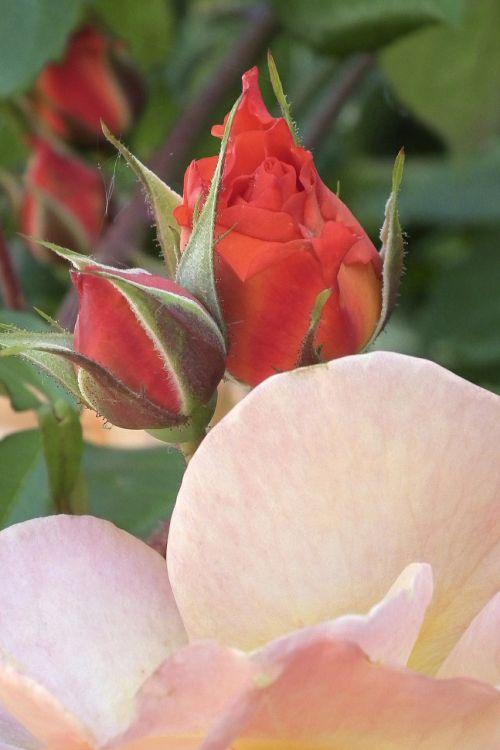 rožė,švelnus,oranžinė,žiedas,žydėti,budas