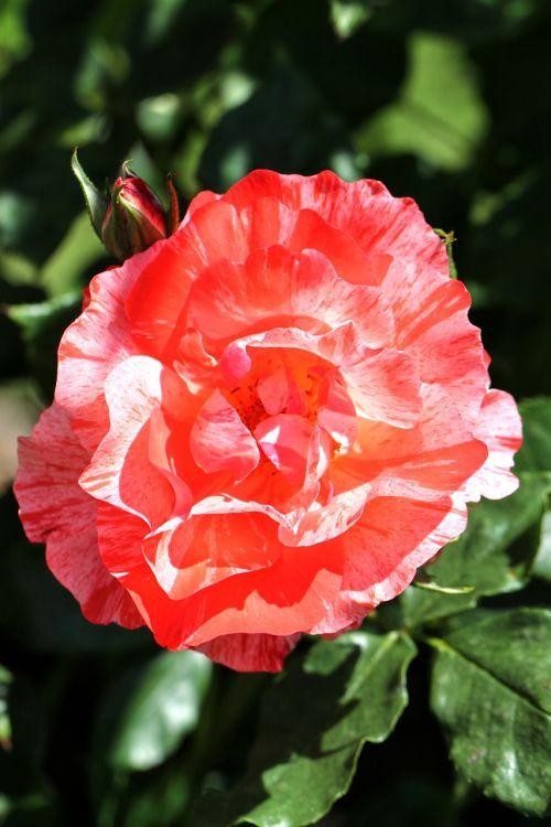 rožė,gėlė,žiedas,žydėti,gamta,augalas,rožinis,sodas,vasara,romantiškas,žydėti,gražus,grožis,išaugo žydėti,meilė,spalva,rožių šeimos,lapai,švelnus