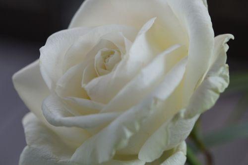 rožė,balta,gėlė,žiedas,žydėti,Uždaryti,Vestuvės,šventė,apdaila,gėlių apdaila,romantiškas,išaugo žydėti,žydėti