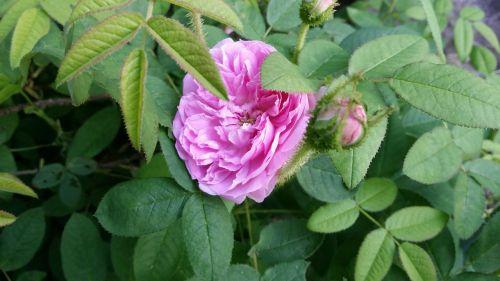 rožė,rožinis,gėlė,gamta,gražus,augalas,žiedas,lapai,žalias,natūralus,sodas,Iš arti