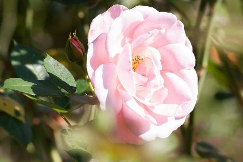 rožė,kompozitai,gėlės,vasara,gamta,augalas,žalias,pastellfarben,užpildyti,sodrus,dekoratyvinis,aromatingas,sodas,rožinis