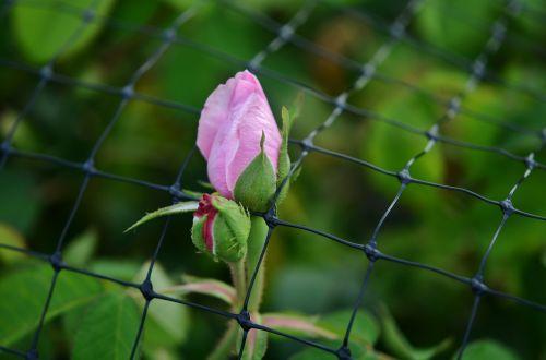rožė,tvora,rožinis,gėlė,gamta,romantiškas,balta,lapai,žalias,augalas,makro,tinklelis