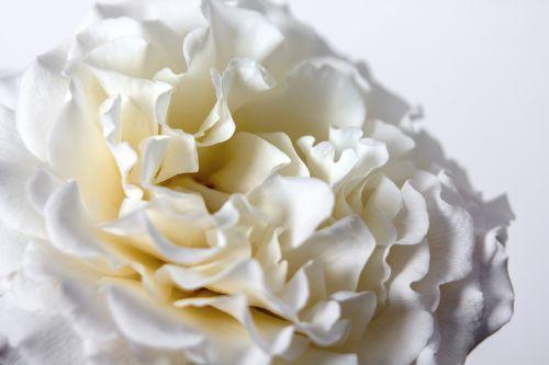 rožė,balta,žiedas,žydėti,augalas,baltos rožės,išaugo žydėti,gėlė,erškėčių,žydėti,Uždaryti