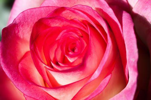rožė,rosaceae,kompozitai,žiedas,žydėti,gamta,augalas,pastellfarben,rožinis,puokštė,užpildyti,sodrus,dekoratyvinis,makro