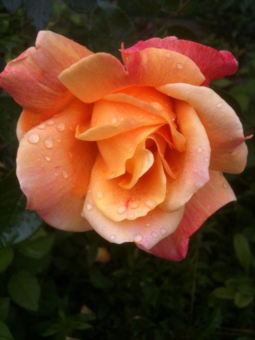 rožė,Morgentau,Šveicarija