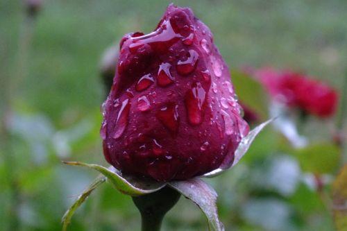 rožė,lašelinė,karoliukas