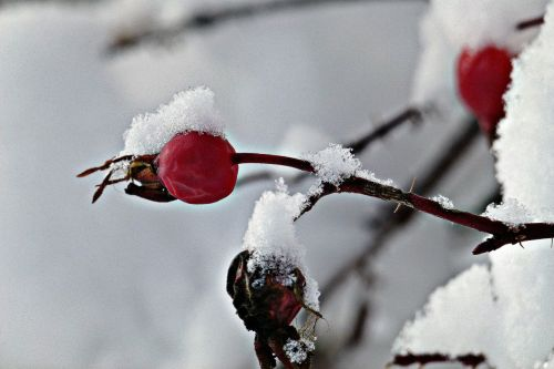 rožė,hip,žiemą,sušaldyta,Laukinė rožė,vaisiai,rožinė hip laukinis šernas,šuo rožė,antioksidantas,erškėtis,sniegas,augalas,gamta,ledinis,šaltas,augmenija