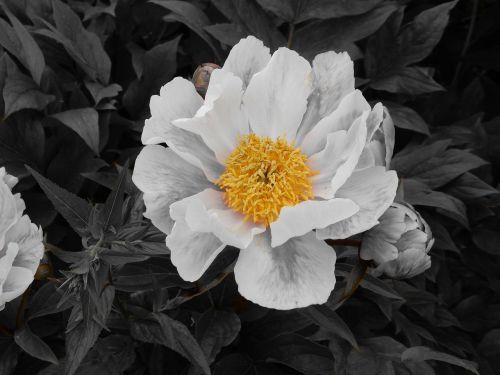 rožė,gėlė,augalas,žydėti,išaugo žydėti,antspaudas,geltona,juoda ir balta,žiedas,žydėti,gražus,sodo rožė