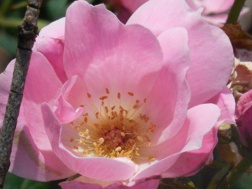 rožė, žydėti, gėlė, žiedas, gamta, gėlių, pavasaris, žiedlapis, vasara, apdaila, augalas, romantiškas, puokštė, lapai, sodas, romantika, botanika, raudona, natūralus, spalva, šviežias, rožinis, spalvinga