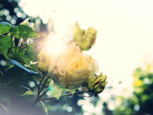 rožė, Laukinė rožė, balta, saulė, apakinti, atgal šviesa, žiedas, žydėti, gėlė, gamta, rožių šiltnamius, krūmas, išaugo žydėti, kvepalai, sodas, augalas, vasara, pavasaris, žydėti, flora, rosenstock, smailas, medžiai, žalias, dangus