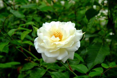 rožė,Balta rožė,balta,gėlė,žiedas,žydėti,išaugo žydėti,augalas,gamta,žiedlapiai,grožis,Uždaryti,kvepianti rožė,vasara,žydėti,rožių kelias,krūmas,erškėčių,parkas,dygliuotas,erškėtis,filialas,pažymėtas,spalva,smailas