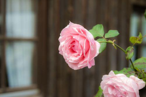 rožė,rožinis,žiedas,žydėti,išaugo žydėti,rožinės rožės,gėlė,kvepalai,žiedlapiai,Valentino diena,sodas,skalė,medžio drožyba,bower,pavėsinė,romantiškas,žydėti,grožis,romantika