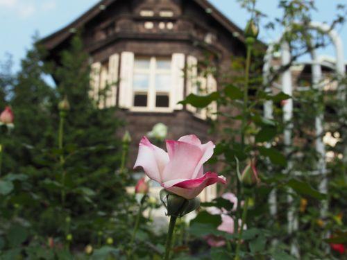 rožė,gėlės,sodas,vakarietiško stiliaus,rožinis,gėlė