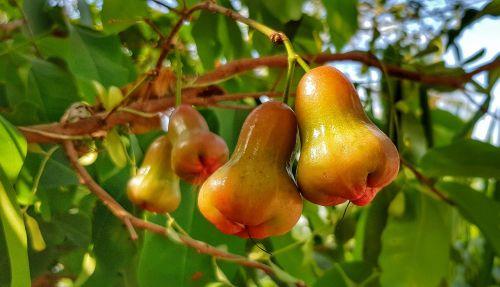 rožinis obuolys, varpelinis obuolys, vaisiai, atogrąžų, maistas, gamta, lapai, medis, filialas, sveikas, Žemdirbystė, pasėlių, šviežumas, obuolys, lauke, kabantis, sezonas, be honoraro mokesčio
