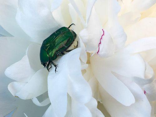 rožių vabalas,žalias,blizgantis,vabzdys,vabalas,gamta,vaivorykštinis,Uždaryti,makro,paprastųjų rožių vabalas,žalias vabalas,nuskaityti
