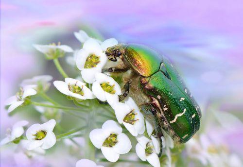 rožių vabalas,vabalas,vabzdys,cetonia aurata,paprastųjų rožių vabalas,makro,vabzdžių makro,gamta,Uždaryti,gyvūnas,gyvūnų pasaulis,skrydžio vabzdys,makrofotografija,augalas,blizgantis,blizgesys,žalias,rožės,gėlės,vasara,flora,žiedas,žydėti,sodas,gėlių sodas