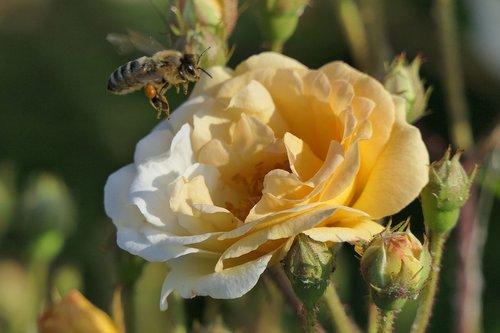 padidėjo žydėti, medaus BITĖ, Iš arti, išaugo, geltona, bičių, pobūdį, Sodas, augalų, vabzdys, šviesos, žiedadulkės