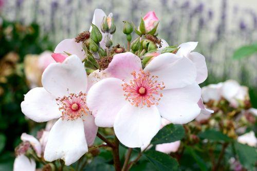 išaugo žydėti,rožinis,švelnus,rožė,gėlė,žiedas,žydėti,gamta,gražus,aromatingas,žydėti,spalvinga,krūmas rožė,šviesus