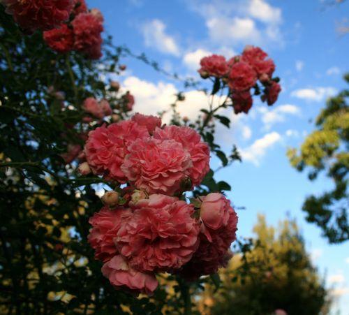 gėlės, krūmas, rožės, klasteris, rožinis, dangus, rožių klasteris prieš dangų