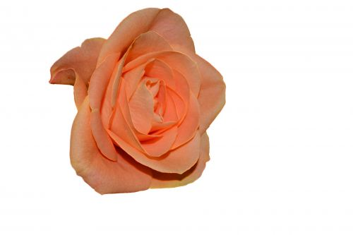 Gėlė,  Iškarpų Albumas,  Iškirpti,  Animacinis Filmas,  Skaitmeninis,  Gamta,  Flora,  Valentine,  Gėlių,  Augalas,  Gamta,  Meilė,  Romantika,  Sveik,  Pasiilgau Tavęs,  Rožių Flora Izoliuota