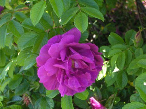 gėlė, rožinis, lapija, fuksija, fuksija rožinė