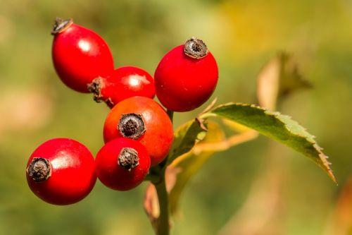 rožinė hip oranžinė,raudona,gamta,vaisiai,ruduo,laukinis rožių krūmas,rudens vaisius,augalas,Uždaryti
