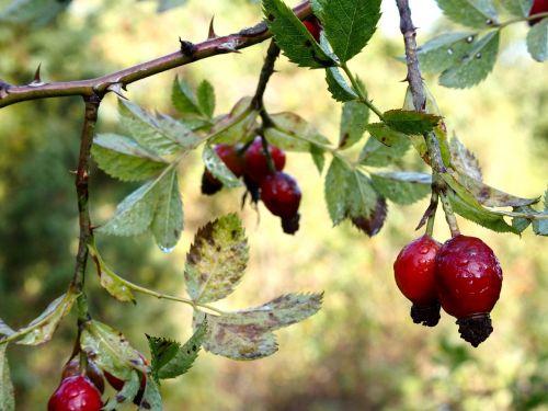 rožinė hip ruduo,gamta,erškėtis,raudona,krūmas,augalas,žalias,rudens vaisiai,Laukinė rožė,apdaila,erškėčių